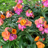 Erysimum 'Winter Sorbet'
