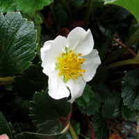 Fragaria 'Green Pastures'