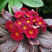 Primrose Kennedy Irish 'Innisfree'